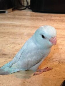 HAND FED HAND TAME PARROTLET BABIES London Ontario image 1