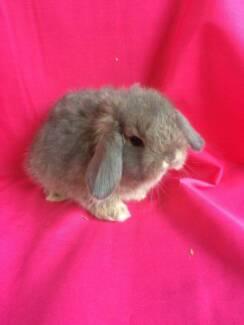 ♥♥ Purebred  Healthy Mini Lop Baby Rabbits ♥♥ Londonderry Penrith Area Preview