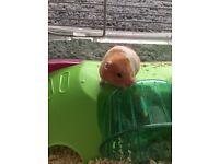 Friendly family hamster