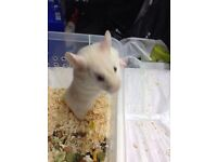 Young Syrian Hamster