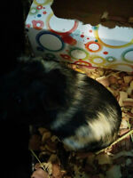2 female guinea pigs look for home (cage, foods, accessories)