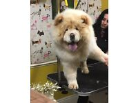 11 month old female chow