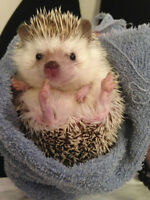 Adorable hedgehog needing a new home