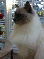 Two Female Full Breed Ragdoll Cats Looking For A Forever Home