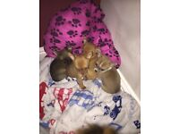 3 chihuahua girl puppies very small