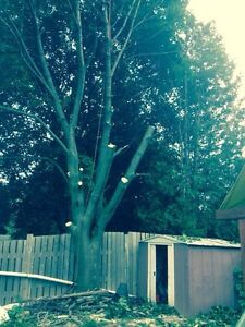 Tree Removal, Tree Pruning and stump grinding Cambridge Kitchener Area image 1