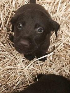 Purebred chocolate lab puppies for sale!