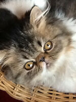 Young adult purebred registered exotic long hair cats