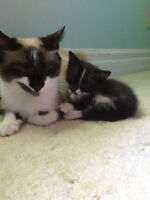RESCUED PART SIAMESE - 3 kittens - spay/vacc/deworm included