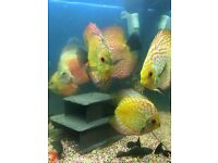 Discus fish for sale 5/5.5 inches adults healthy fish tank aquarium