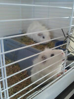 2 White male Gineapigs For Sale