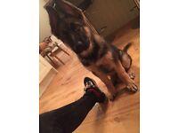 Puppy for sale ( German Shepard )