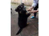 9 weeks boy german shepherd sale in W5 london
