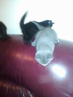 3 chatons de 7 semaines a donner