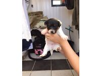 Lovely jack russle 1 girl left
