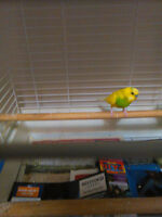Free: One male yellow and green budgie