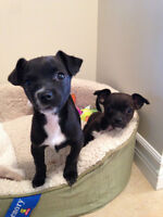 Chihuahua Puppies Need a Forever Home