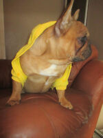 French Bulldog TOP QUALITY RED puppies!!!