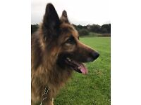 German shepherd male long hair