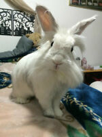 RESCUE BUNNY-Hi My name is Dazzle and i need a home
