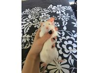 3 Sister Rats For Sale