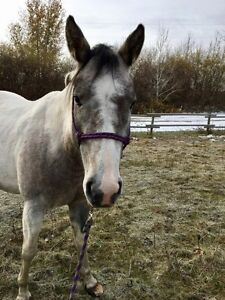 Lease of older Arab gelding(beginner) and paint mare(int)