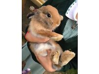 3 months old, 1 female & 2 male rabbits for sale.