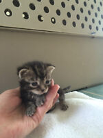 RESCUED TEENY KITTENS - bottle fed and extremely cuddly.