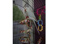 Indian ring neck lace wing parakeet