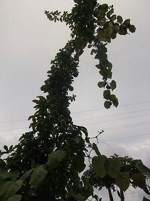 Purpurgranadilla ☼ unglaublich schnell wachsende Kletterpflanze ☼ Saatgut ☼ ... (Saatgut Schnell)