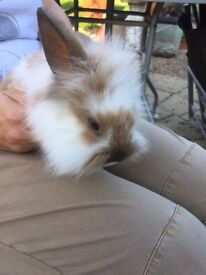Baby boy rabbits for sale £10 each, must go asap...