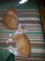 Angora Kittens