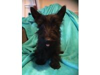 KC reg Scottish terrier (scotty dogs)
