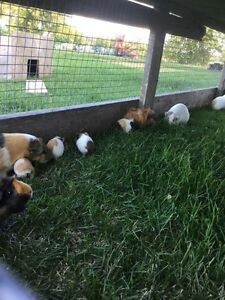 Adorable baby Guinea pigs Peterborough Peterborough Area image 1