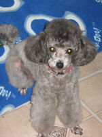 *** Femelle Toy Poodle Adulte ***