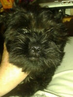 LIVELY LITTLE MALE SHIHTZU / MALTESE / HAVANESE PUPPY