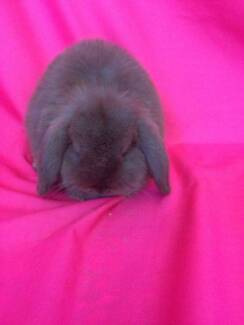 ♥♥ Purebred Quality Mini Lop Baby Rabbits ♥♥ Londonderry Penrith Area Preview
