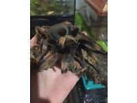 B. Emilia tarantula and enclosure