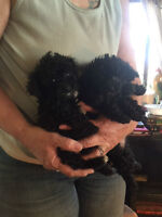 Pure Breed Toy/Mini Poodles  and  Poodle Crosses