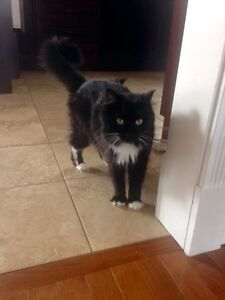 Looking for a good home (declawed and spayed) St. John's Newfoundland image 1