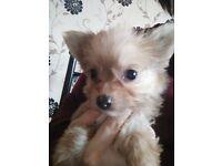 3//4 Chihuahua x 1/4 Yorkie Puppies