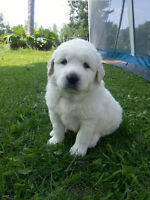 Purebred Great Pyrenees Puppies for Sale!