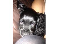 9 week puppy