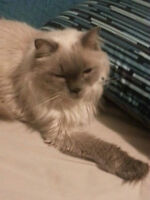 Adult male Himalayan for FREE to a good home