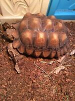 African Spurred Tortiose