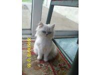 Chinchilla Male Persian Kitten