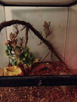Two Crested Geckos both Female with enclosure