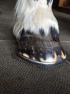 Professional Farrier Services  Cornwall Ontario image 4
