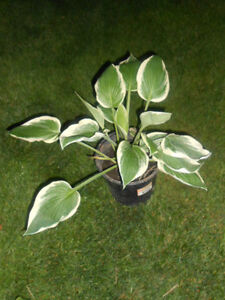 Hosta plants - SUMMER