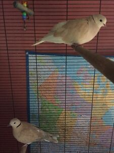 Pair of ring neck doves, and cage